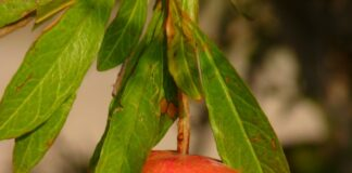 अनार व उसके जूस के फायदे - Benefits of pomegranate and its juice
