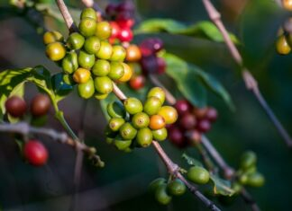 ग्रीन कॉफी के फायदे क्या है - What are the Benefits of Green Coffee