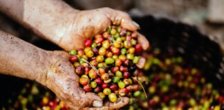 वजन कम करने के लिए ग्रीन कॉफी का उपयोग