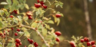 Rosehip Oil For Acne Benefits And Side Effects